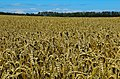 Fields of barley (29040669486).jpg