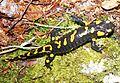 Fire salamander 3.jpg