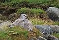 Fiskmås Common Gull (14980242071).jpg