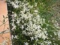 Fleurs blances.jpg