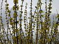 Fleurs de forsythia à Grez-Doiceau 003.jpg