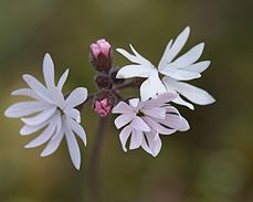 Flickr - brewbooks - Lithophragma parviflorum emerging.jpg