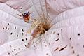 Flickr - ggallice - Beetle and Solanaceae, Yaupi.jpg