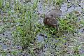 Flickr - ggallice - Capybara.jpg