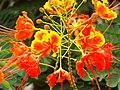 Flor de uma Mini Flamboyant Caesalpinia pulcherrima.jpg