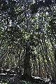 Flora del bosque relicto Cerro Santa Inés 01.JPG