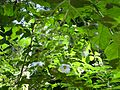 Flores brancas de árvore.jpg