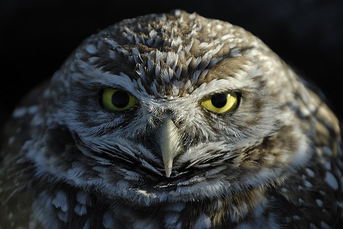 English: Burrowing Owl (Athene cunicularia) Pu...