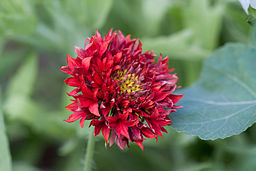 "Flower, Gaillardia Pulchella ""Red Bloom"" - Flickr - nekonomania (1)"