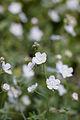 Flower, Navelwort - Flickr - nekonomania.jpg