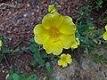 Flower from kerala.jpg