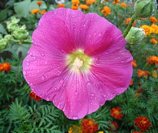 Flower with water droplets 2.JPG