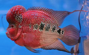 A flowerhorn (cichlid hybrid) from The 6th