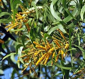 Acacia auriculiformis - Image: Flowers & leaves I IMG 8639