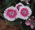 Flowers - Uncategorised Garden plants 155.JPG
