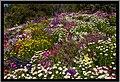 Flowers beside the Toowoomba Range rail tracks-6 (10351449814).jpg