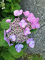 Flowers of Hydrangea macrophylla 20160530.jpg