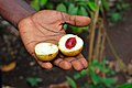 Fresh nutmeg in Zanzibar (Tanzania).JPG