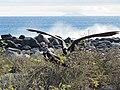 Frigatebirds - North Seymour Island - Galapagos Islands - Ecuador (4871093802).jpg