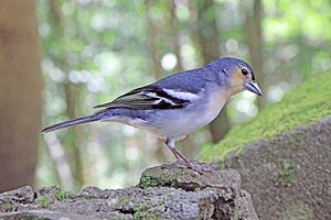 Common chaffinch - Male F. c. palmae, La Palma, Canary Islands