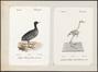 Fulica atra - 1700-1880 - Print - Iconographia Zoologica - Special Collections University of Amsterdam - UBA01 IZ17500245.tif
