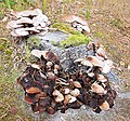 Fungi on tree stump.jpg