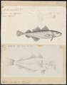 Gadus minutus - 1700-1880 - Print - Iconographia Zoologica - Special Collections University of Amsterdam - UBA01 IZ14000097.tif