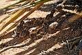 Gambel's quail chicks (20678432374).jpg