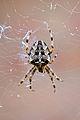Garden Spider (7964411436).jpg