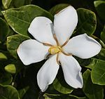 Gardenia jasminoides flower and bud.JPG