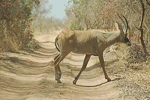 W National Park - Image: Gazelle big road park w niger 2006148670716 94d 943892c b