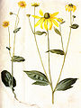 Gc28 doronicum pardalianches.jpg
