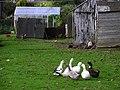 Geese, Ballyeaston - geograph.org.uk - 1528430.jpg