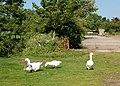 Geese in the yard, Broadwell House Farm - geograph.org.uk - 1327117.jpg