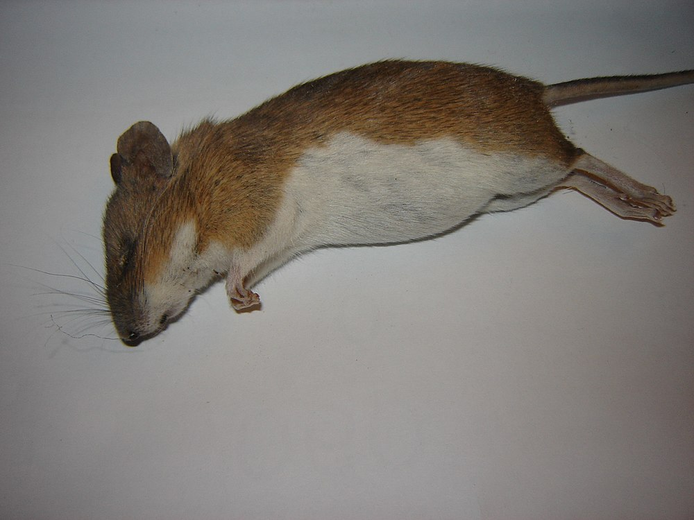 The average adult weight of a Steppe field mouse is 20 grams (0.04 lbs)