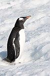 Gentoo Penguin Orne Harbour Antarctica 3 (40371458363).jpg