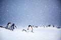 Gentoo Penguins at Trinity Island, Antarctica.jpg