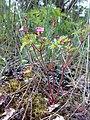 Geranium robertianum 02.jpg