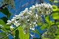 Gewöhnliche Traubenkirsche - Prunus padus - 170409 (33910707282).jpg