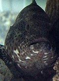 Gfp-black-grouper.jpg