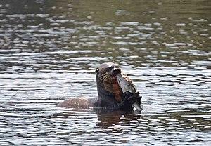 Igapó - Giant otter (Pteronura brasiliensis)