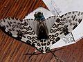 Giant Leopard Moth, 5-23-2012, IN -03.jpg