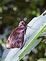 Giant Red Eye Butterfly (Gangara thyrsis) (22031562605).jpg