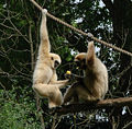 Gibbon Amiens 26872.jpg