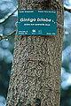 Ginkgo bilabo-DSC 7337.jpg