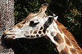 Giraffe at Woodland Park Zoo.jpg