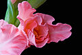 Gladioli Bouton Closeup.jpg