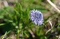 Globularia bisnagarica (6960497666).jpg