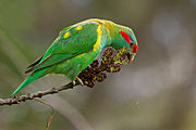 Green parrot with yellow spots on its back and a red stripe across the eyes