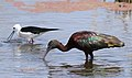 Glossy Ibis, Plegadis falcinellus at Marievale Nature Reserve, Gauteng, South Africa. Marievale is probably the best place to see this bird. (20925990970).jpg